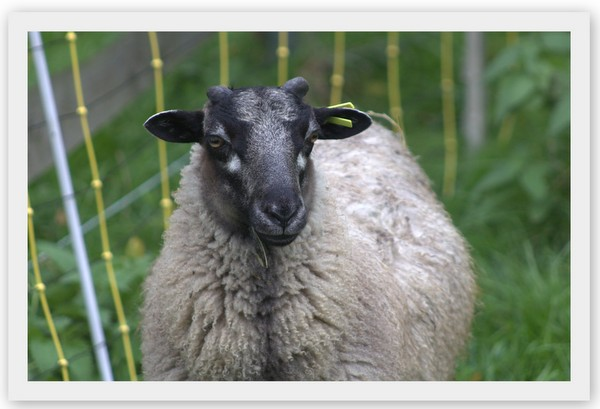 Shetland Schafe
